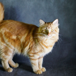 Karelian Bobtail Longhair cat breed photo