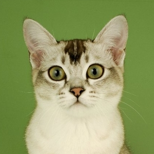 Asian cat breed photo