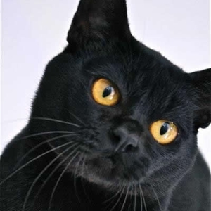 Australian Bombay cat breed photo