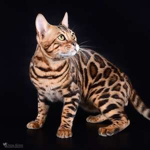 Bengal cat breed photo