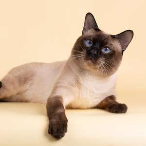 Thai cat breed photo