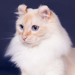 American Curl Longhair cat breed photo