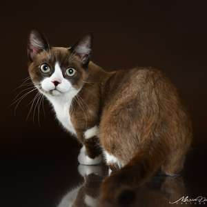 Munchkin Shorthair cat breed photo