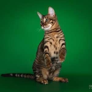 Toyger cat breed photo