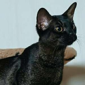 Chausie cat breed photo