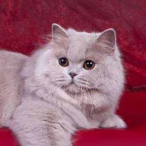 British Longhair cat breed photo