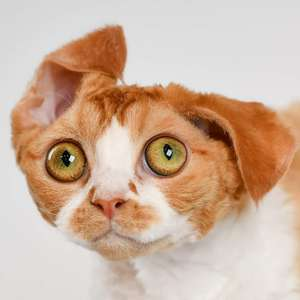 Devon Rex cat breed photo