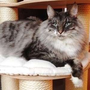 Norwegian Forest Cat cat breed photo