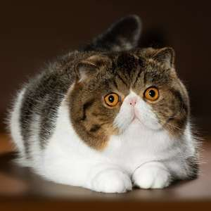 Exotic Shorthair cat breed photo