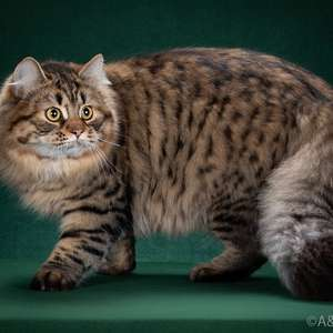Siberian cat breed photo