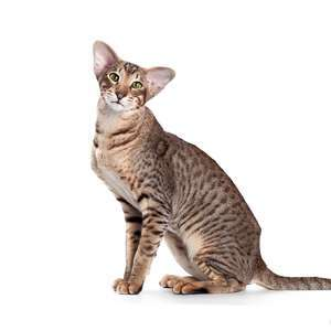 Oriental Shorthair cat breed photo