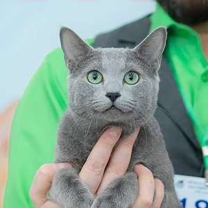 Russian Blue cat breed photo