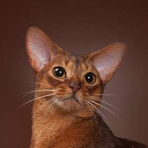 Abyssinian cat breed photo