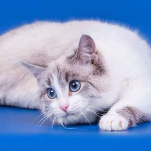 Household Pet cat breed photo