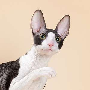 Cornish Rex cat breed photo