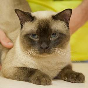 Tonkinese cat breed photo