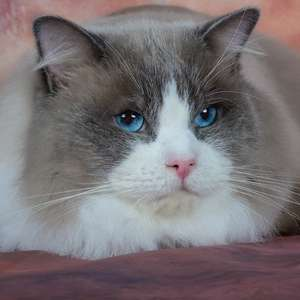 Ragdoll cat breed photo