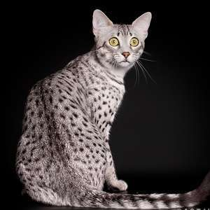 Egyptian Mau cat breed photo